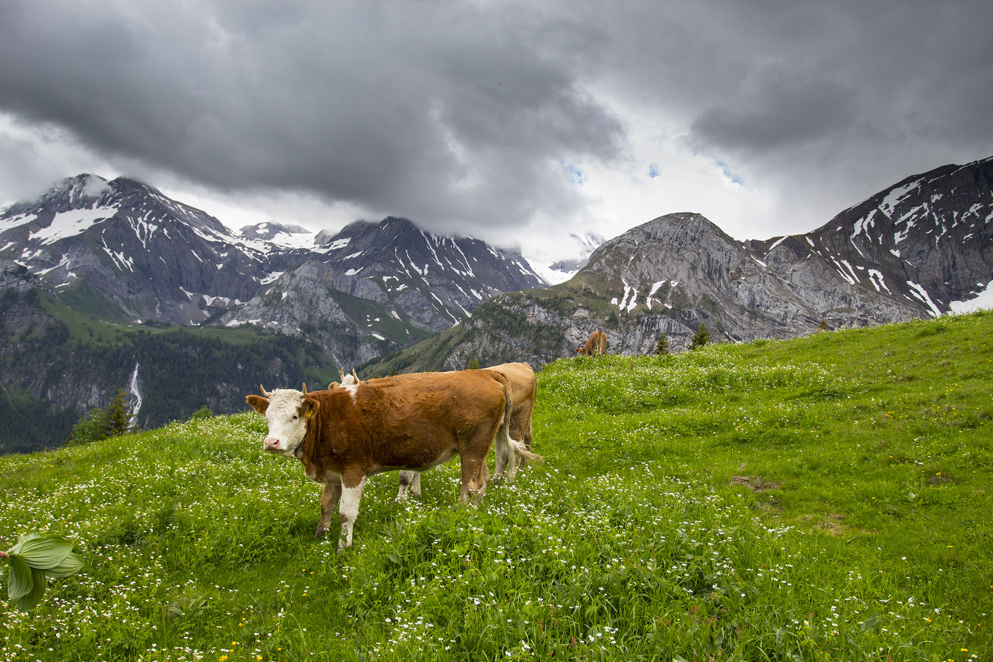 A cow in the mountains of Gstaad Switzerland